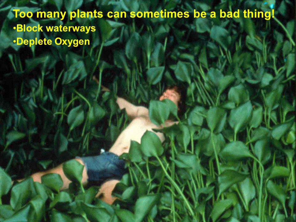 Too many plants can sometimes be a bad thing! Block waterways Deplete Oxygen