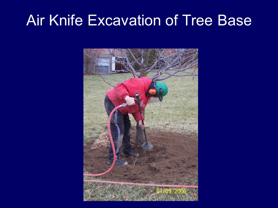 Air Knife Excavation of Tree Base