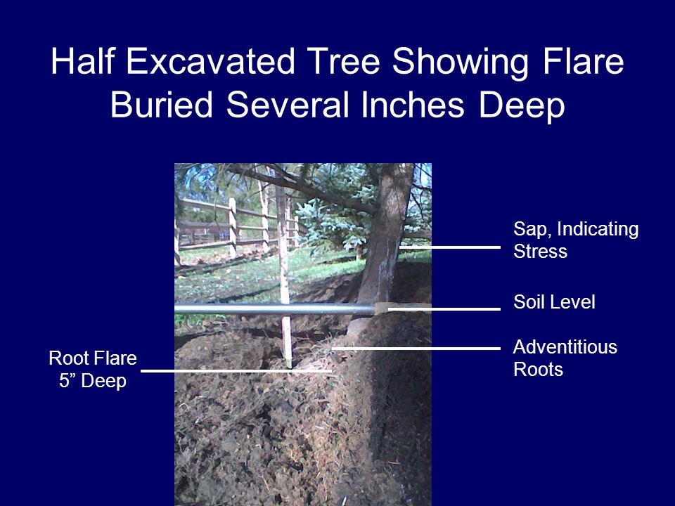 Half Excavated Tree Showing Flare Buried Several Inches Deep Root Flare 5 Deep Soil Level Sap, Indicating Stress Adventitious Roots