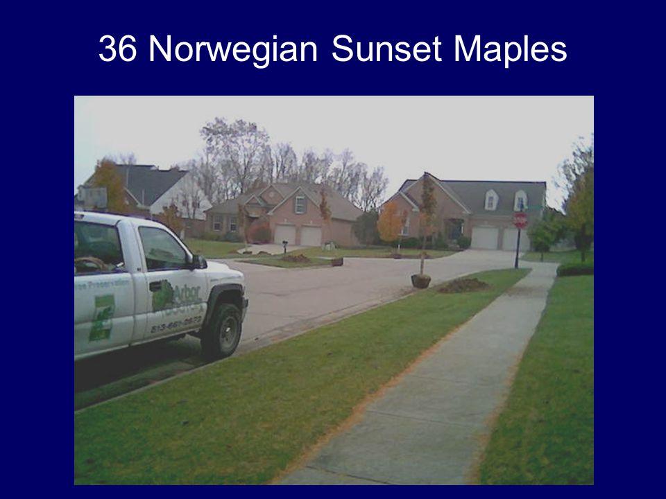 36 Norwegian Sunset Maples