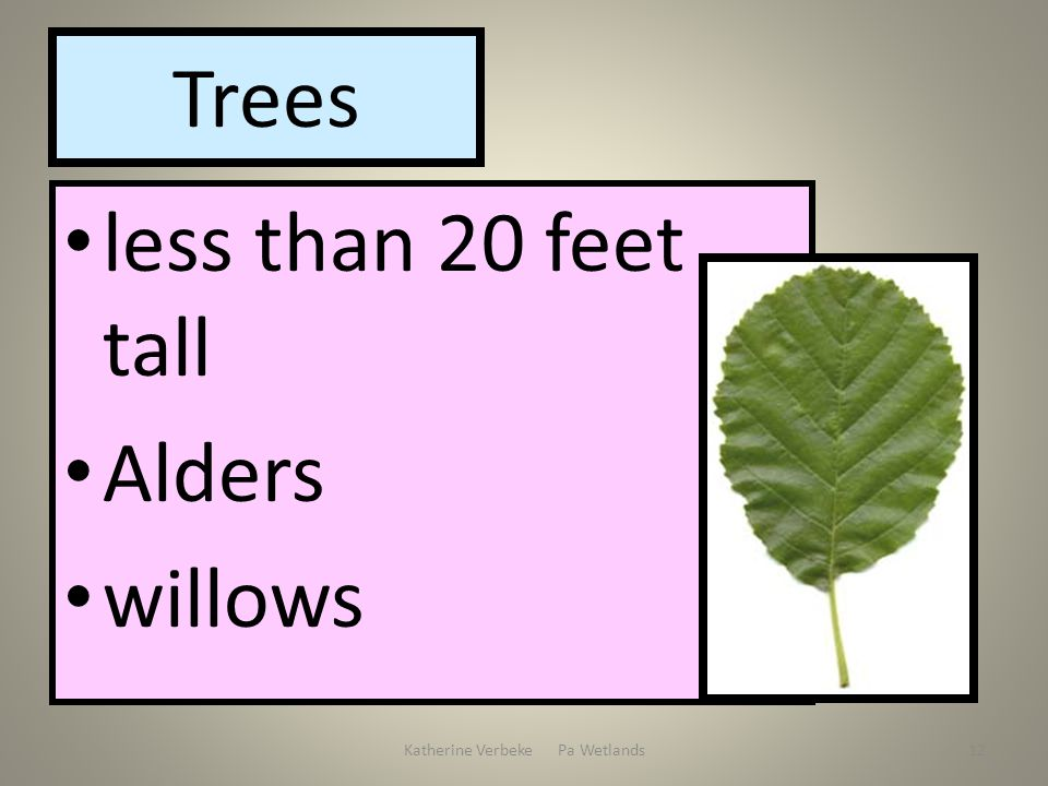 Katherine Verbeke Pa Wetlands12 Trees less than 20 feet tall Alders willows