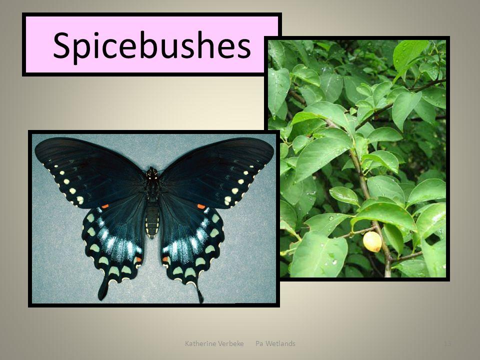 Katherine Verbeke Pa Wetlands13 Spicebushes