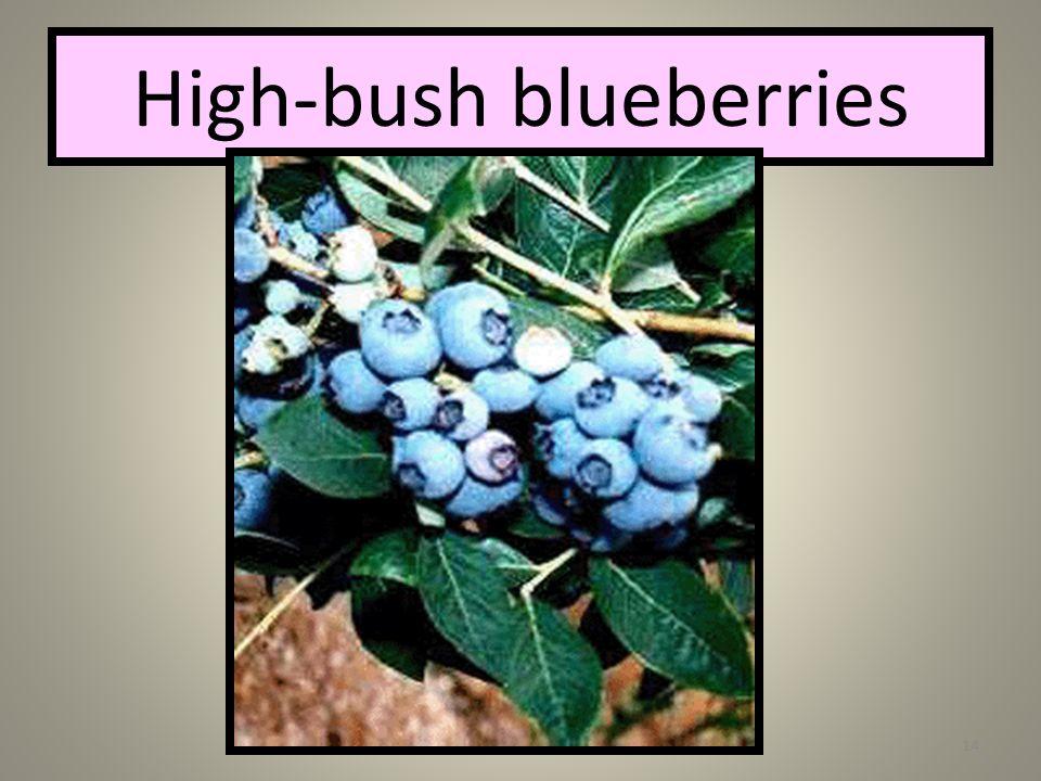 Katherine Verbeke Pa Wetlands14 High-bush blueberries