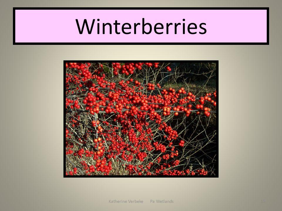 Katherine Verbeke Pa Wetlands15 Winterberries