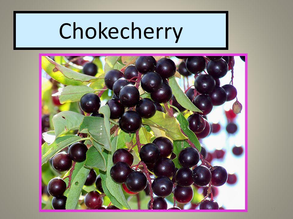 Katherine Verbeke Pa Wetlands17 Chokecherry