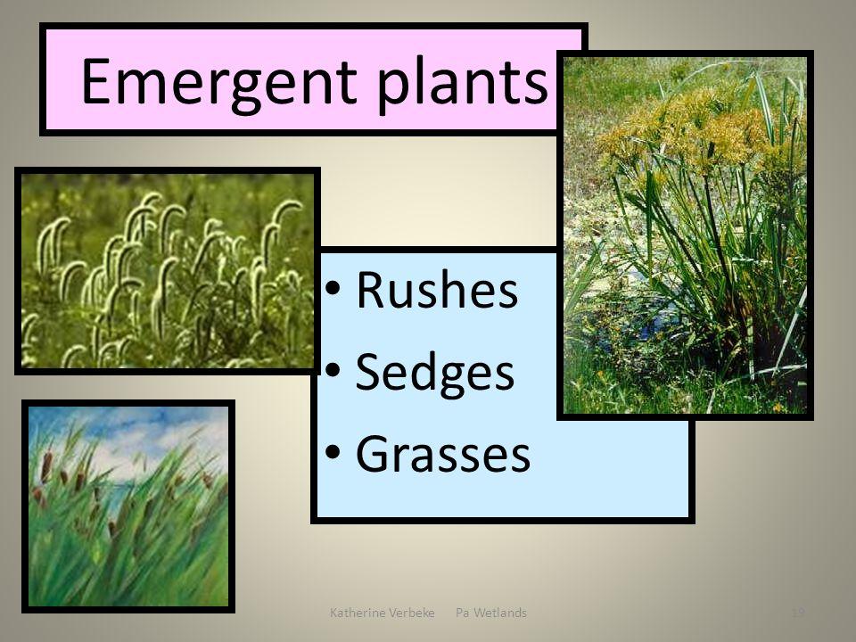 Katherine Verbeke Pa Wetlands19 Emergent plants Rushes Sedges Grasses