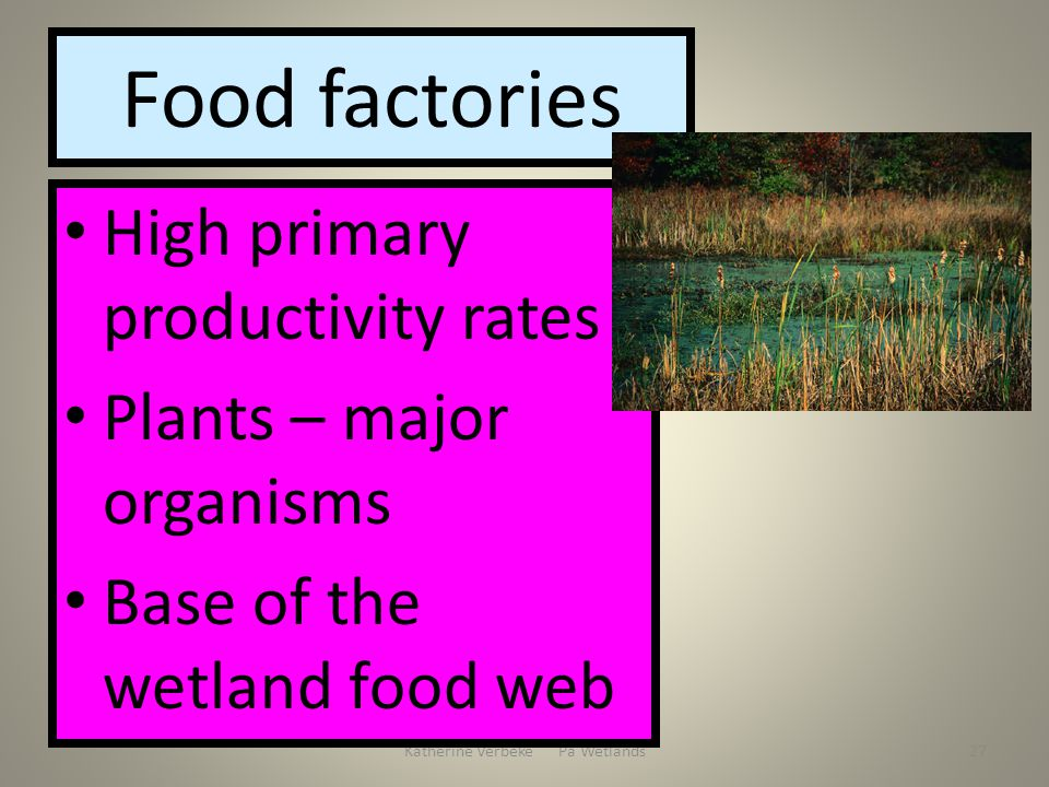 Katherine Verbeke Pa Wetlands27 Food factories High primary productivity rates Plants – major organisms Base of the wetland food web