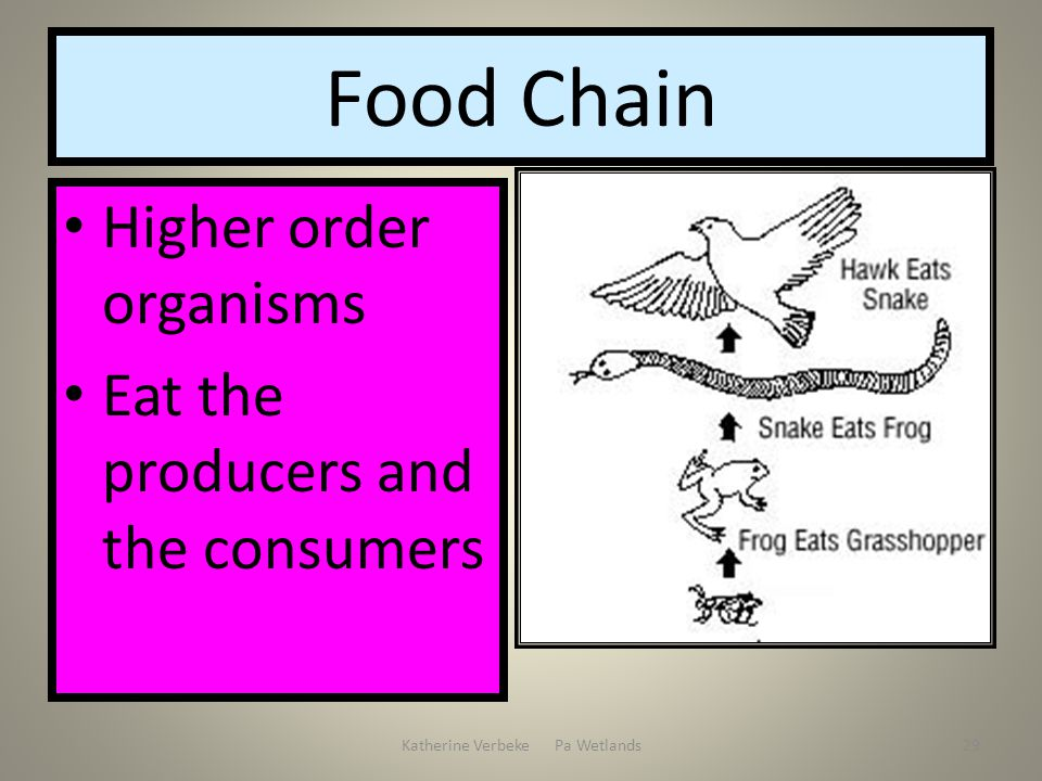 Katherine Verbeke Pa Wetlands29 Food Chain Higher order organisms Eat the producers and the consumers
