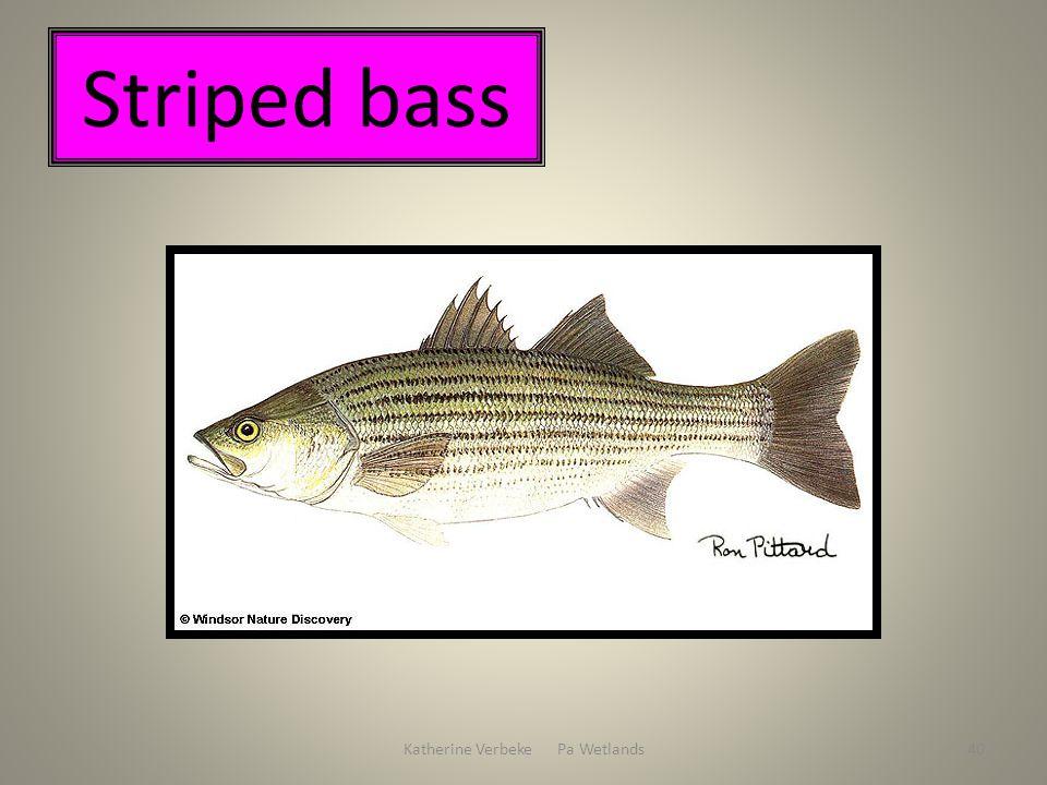 Katherine Verbeke Pa Wetlands40 Striped bass