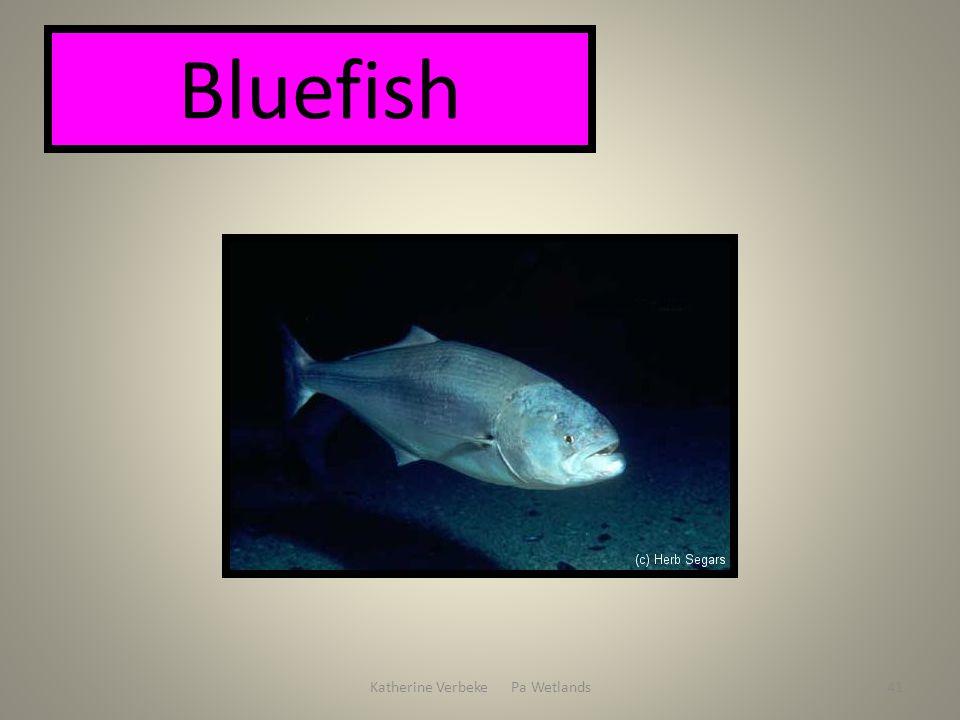 Katherine Verbeke Pa Wetlands41 Bluefish