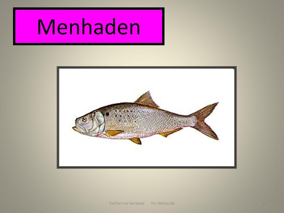 Katherine Verbeke Pa Wetlands42 Menhaden