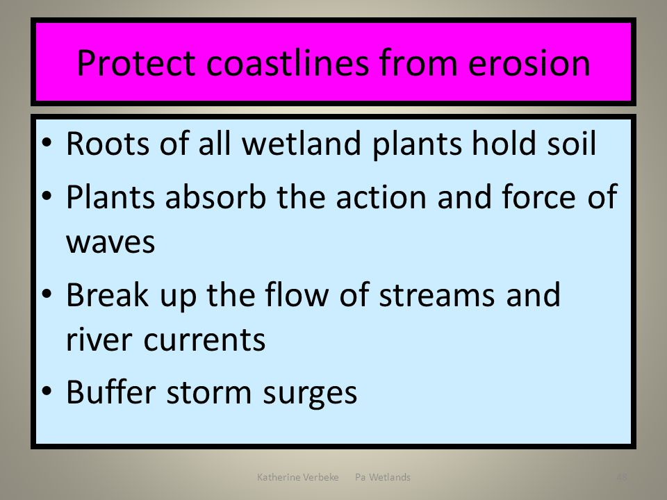 Katherine Verbeke Pa Wetlands48 Protect coastlines from erosion Roots of all wetland plants hold soil Plants absorb the action and force of waves Brea