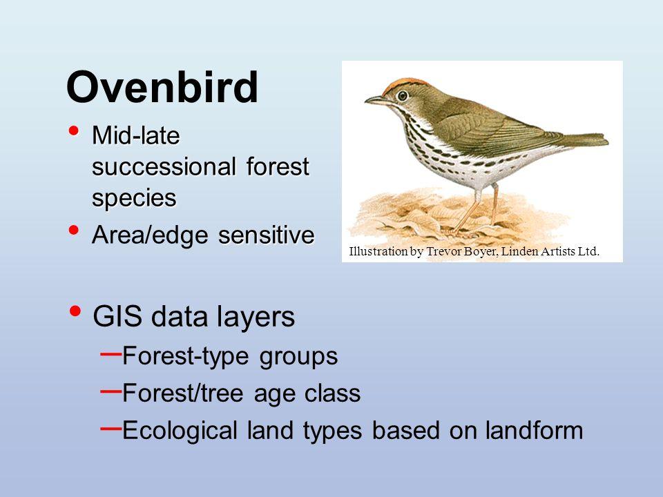 Ovenbird Illustration by Trevor Boyer, Linden Artists Ltd.