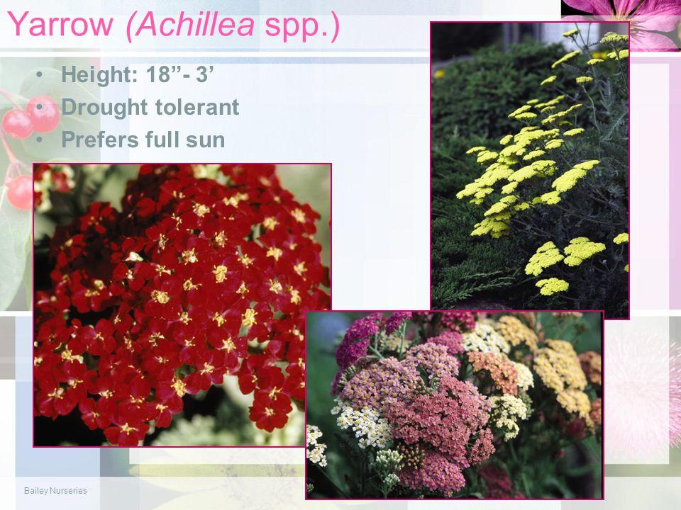 "Yarrow (Achillea spp.) Height: 18""- 3' Drought tolerant Prefers full sun Bailey Nurseries"