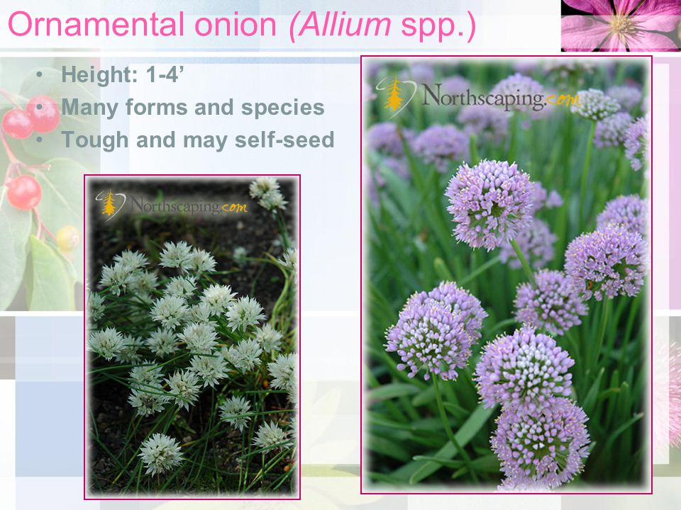 Ornamental onion (Allium spp.) Height: 1-4' Many forms and species Tough and may self-seed