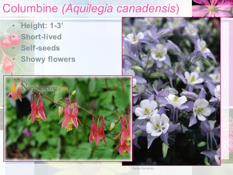 Columbine (Aquilegia canadensis) Height: 1-3' Short-lived Self-seeds Showy flowers Bailey Nurseries