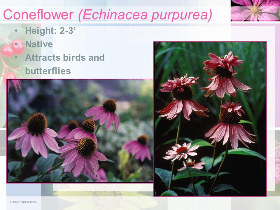 Coneflower (Echinacea purpurea) Height: 2-3' Native Attracts birds and butterflies Bailey Nurseries