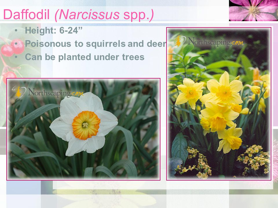 Daffodil (Narcissus spp.) Height: 6-24 Poisonous to squirrels and deer Can be planted under trees