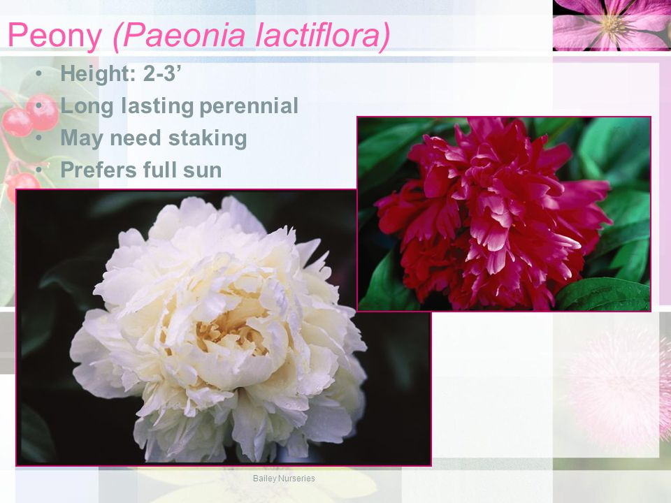 Peony (Paeonia lactiflora) Height: 2-3' Long lasting perennial May need staking Prefers full sun Bailey Nurseries