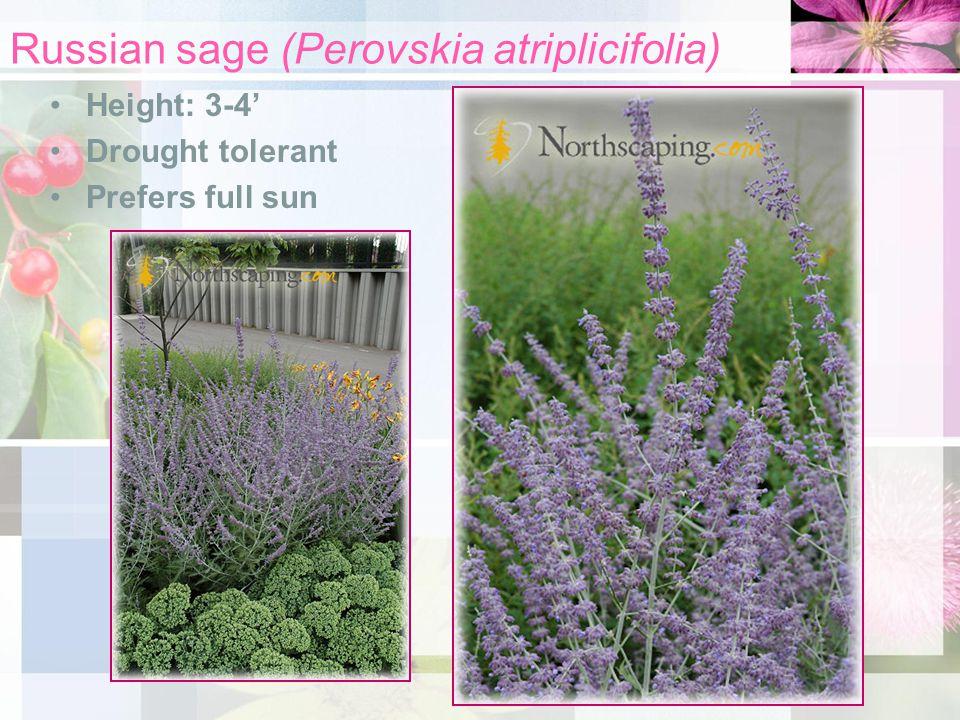 Russian sage (Perovskia atriplicifolia) Height: 3-4' Drought tolerant Prefers full sun