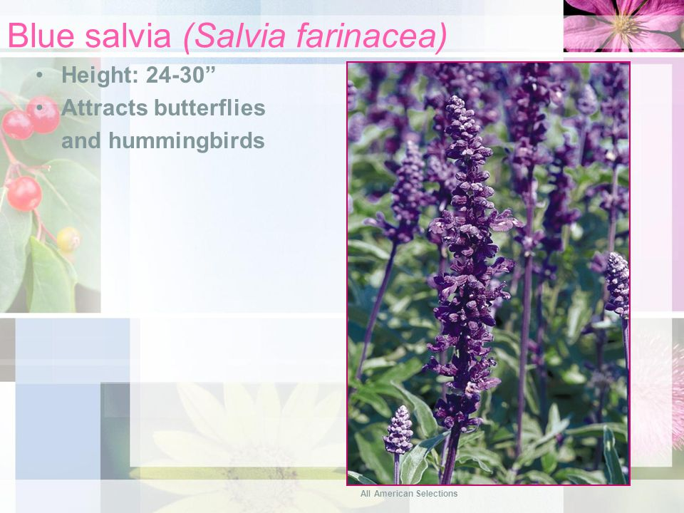 Blue salvia (Salvia farinacea) Height: 24-30 Attracts butterflies and hummingbirds All American Selections
