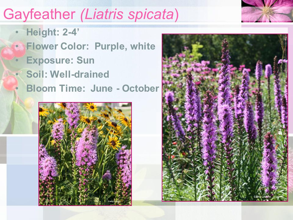 Gayfeather (Liatris spicata) Height: 2-4' Flower Color: Purple, white Exposure: Sun Soil: Well-drained Bloom Time: June - October