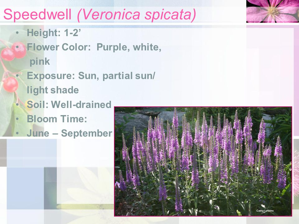 Speedwell (Veronica spicata) Height: 1-2' Flower Color: Purple, white, pink Exposure: Sun, partial sun/ light shade Soil: Well-drained Bloom Time: June – September