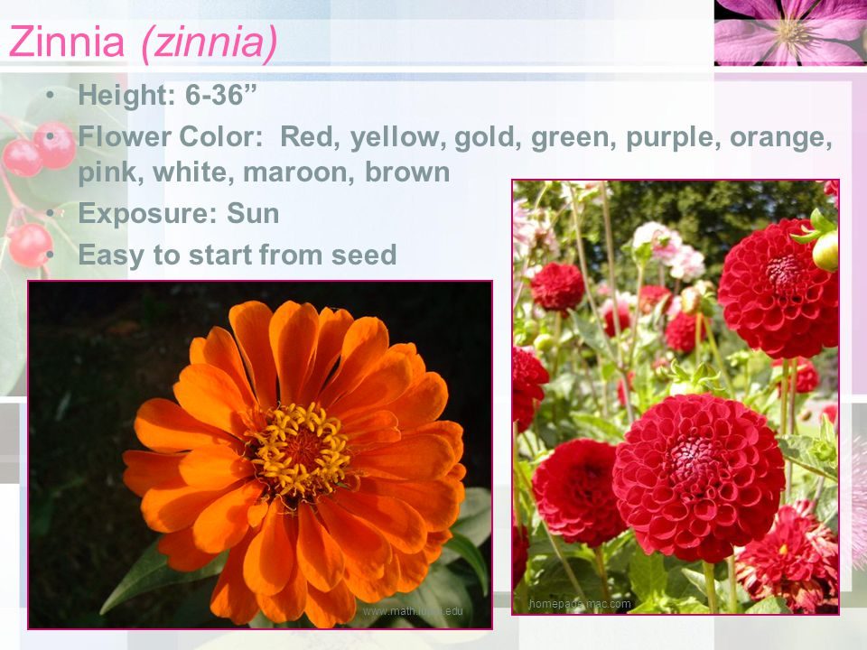 Zinnia (zinnia) Height: 6-36 Flower Color: Red, yellow, gold, green, purple, orange, pink, white, maroon, brown Exposure: Sun Easy to start from seed www.math.iupui.edu homepage.mac.com