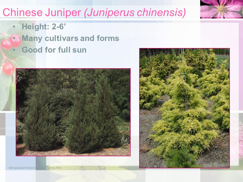 Chinese Juniper (Juniperus chinensis) Height: 2-6' Many cultivars and forms Good for full sun dansjunipers.tripod.com/chinensis.htm