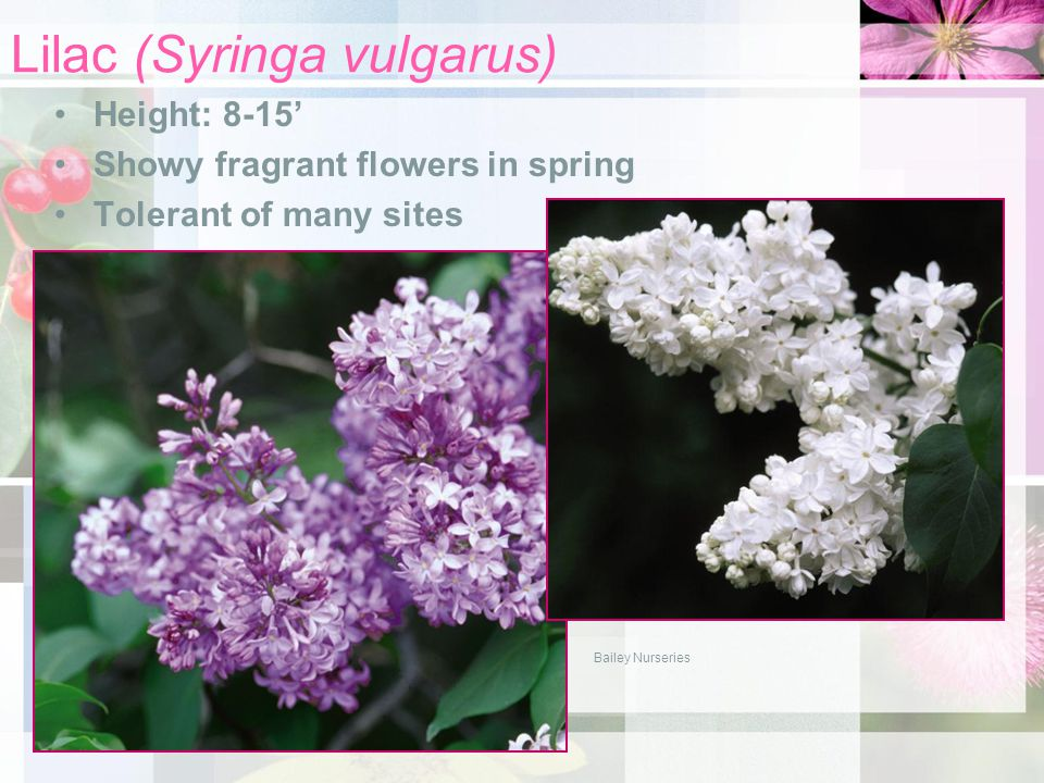 Lilac (Syringa vulgarus) Height: 8-15' Showy fragrant flowers in spring Tolerant of many sites Bailey Nurseries