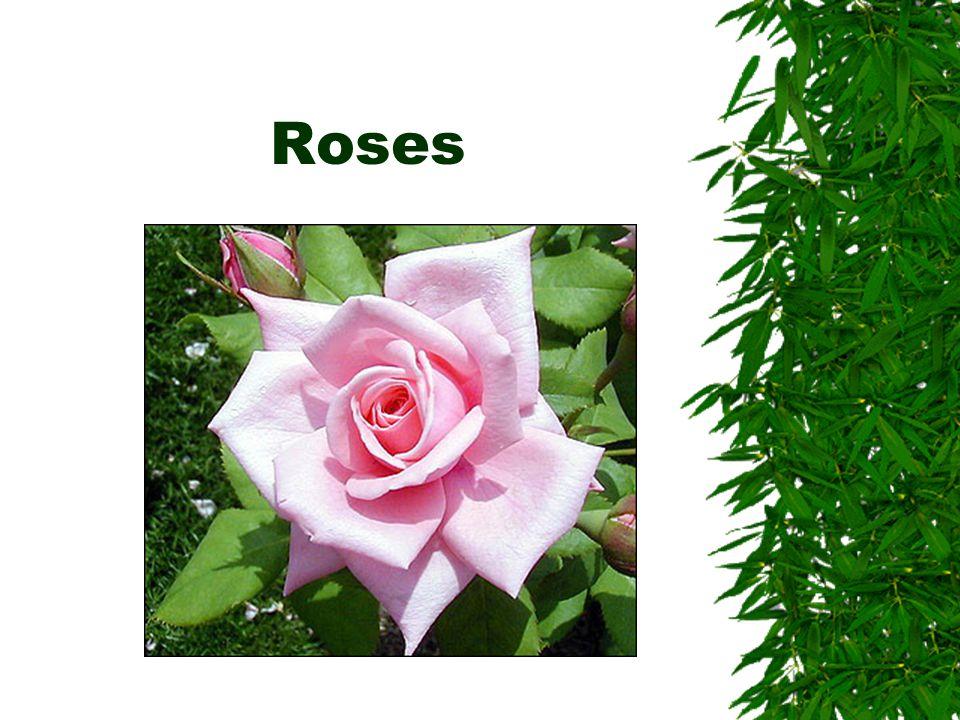 Classification of roses  Modern garden roses  Old garden roses  Species roses
