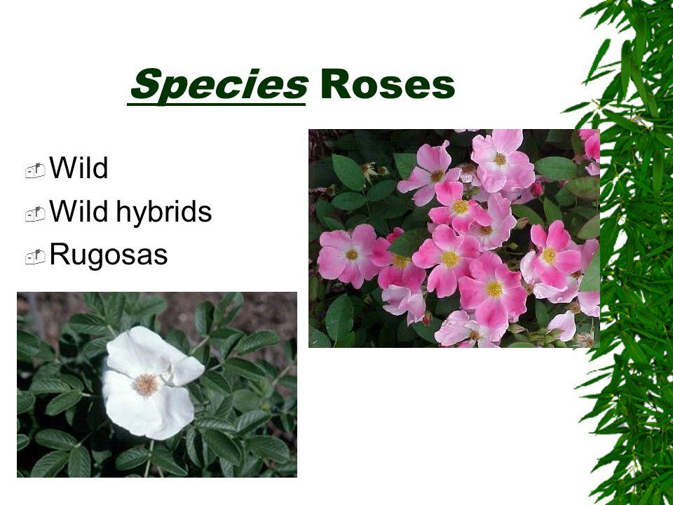 Species Roses  Wild  Wild hybrids  Rugosas