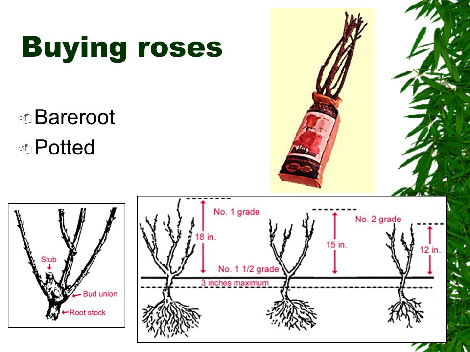 Buying roses  Bareroot  Potted