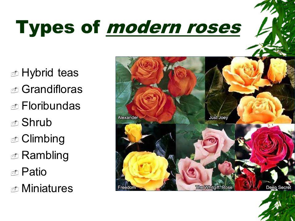 Types of modern roses  Hybrid teas  Grandifloras  Floribundas  Shrub  Climbing  Rambling  Patio  Miniatures