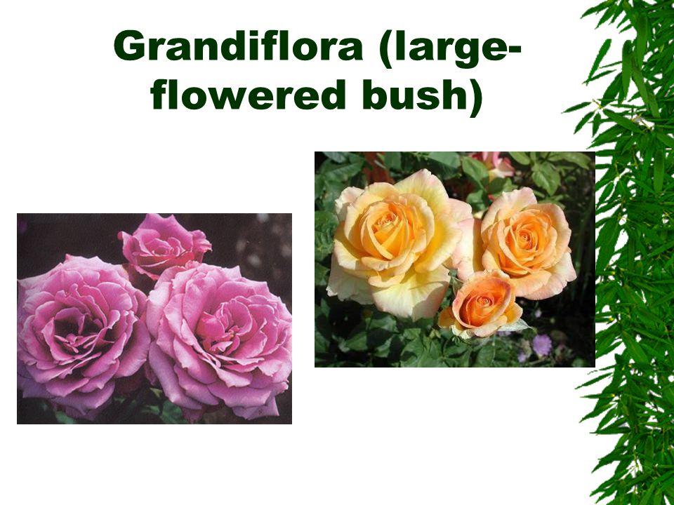 Floribunda (cluster- flowered bush)