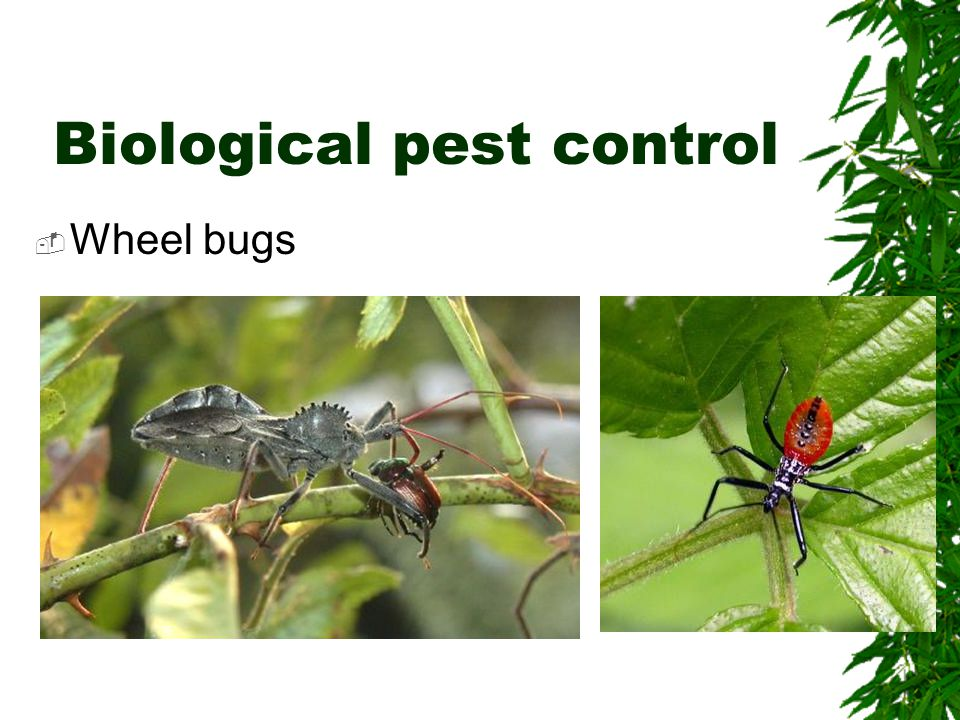 Biological pest control  Wheel bugs