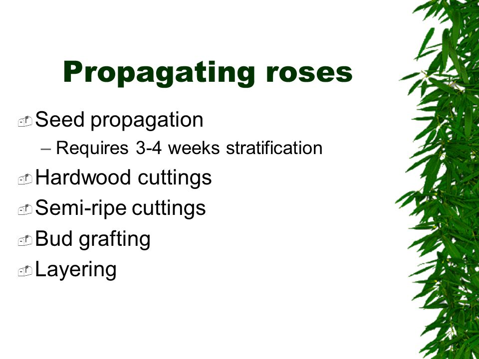 Propagating roses  Seed propagation –Requires 3-4 weeks stratification  Hardwood cuttings  Semi-ripe cuttings  Bud grafting  Layering