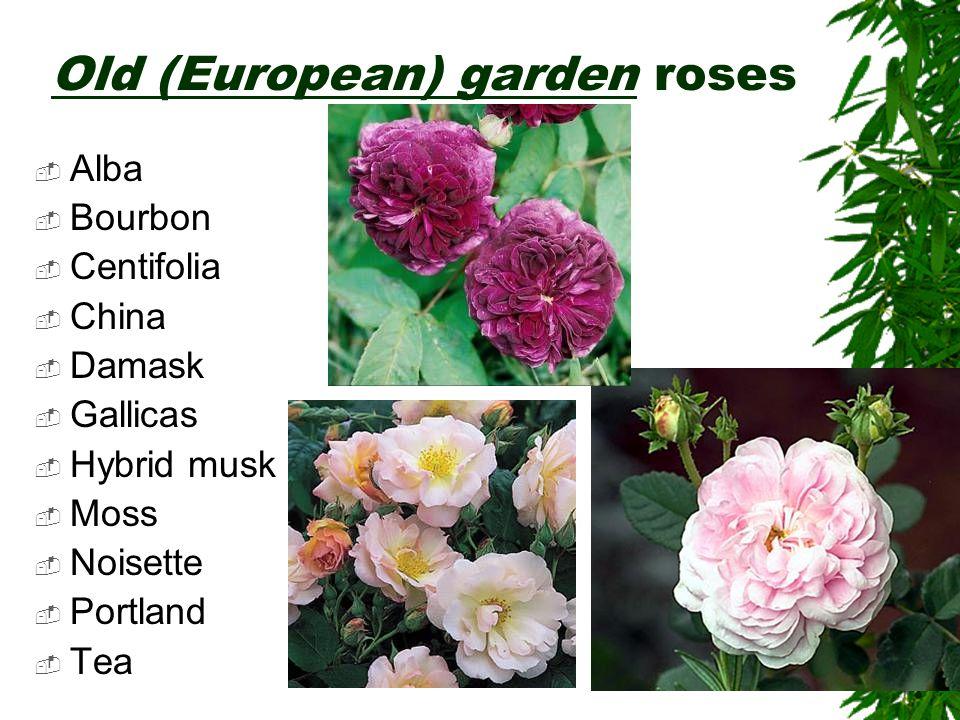 Old (European) garden roses  Alba  Bourbon  Centifolia  China  Damask  Gallicas  Hybrid musk  Moss  Noisette  Portland  Tea