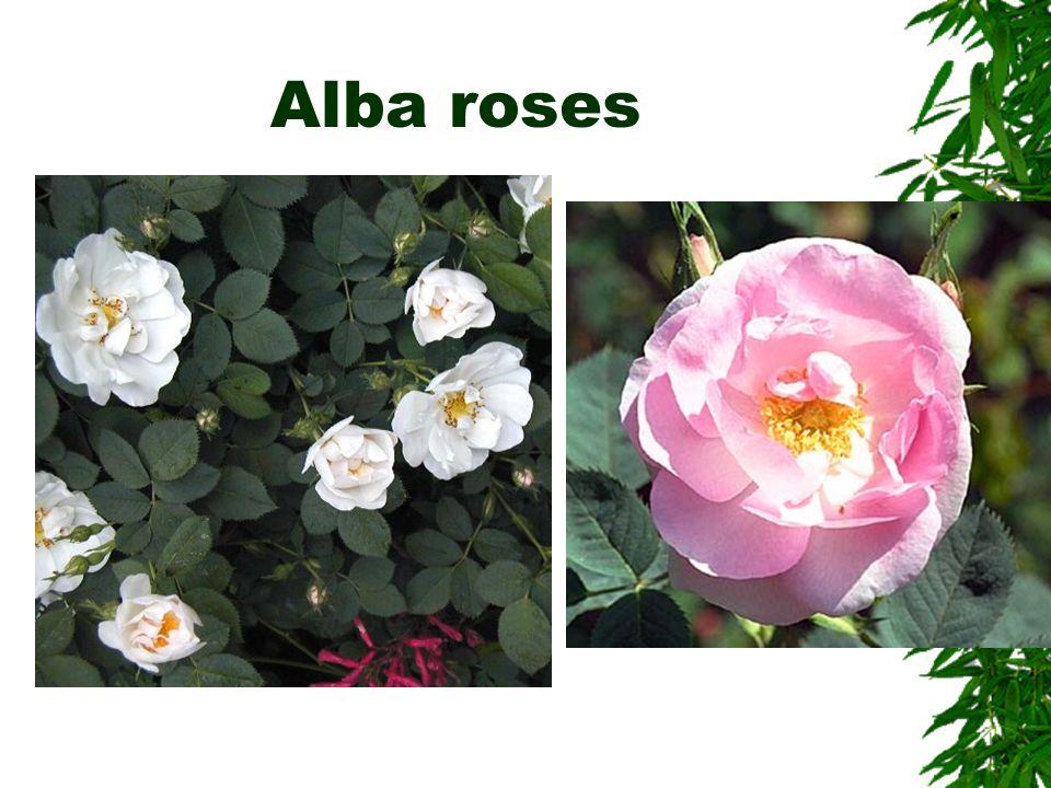 Rose maintenance  Sanitation –To limit disease  Remove leaf litter, pruning waste –Do not compost.