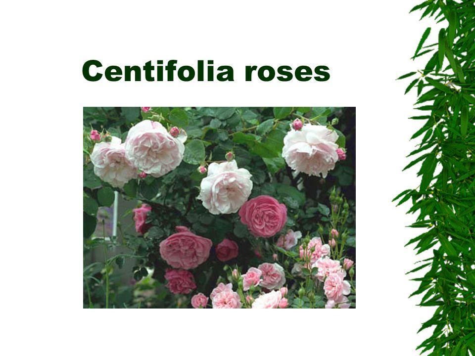 Centifolia roses