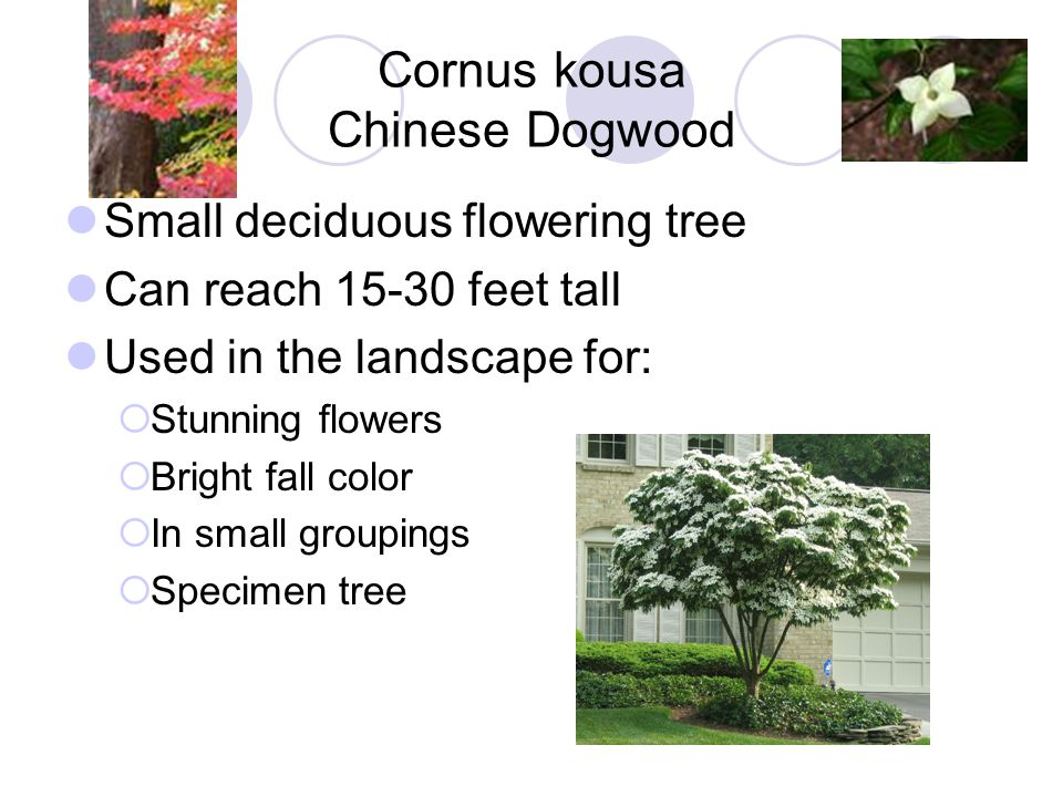 Ginkgo biloba Ginkgo Deciduous tree Can reach 100 feet tall Nurseries typically only sale male specimens.