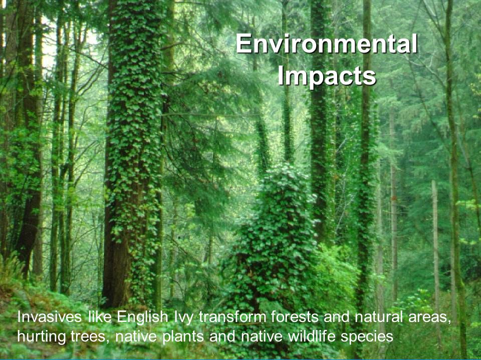 EnvironmentalImpacts Invasives like English Ivy transform forests and natural areas, hurting trees, native plants and native wildlife species