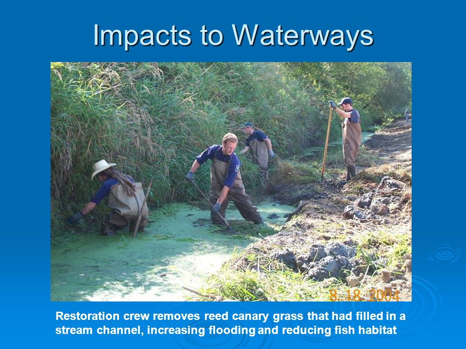 Impacts to Waterways Restoration crew removes reed canary grass that had filled in a stream channel, increasing flooding and reducing fish habitat