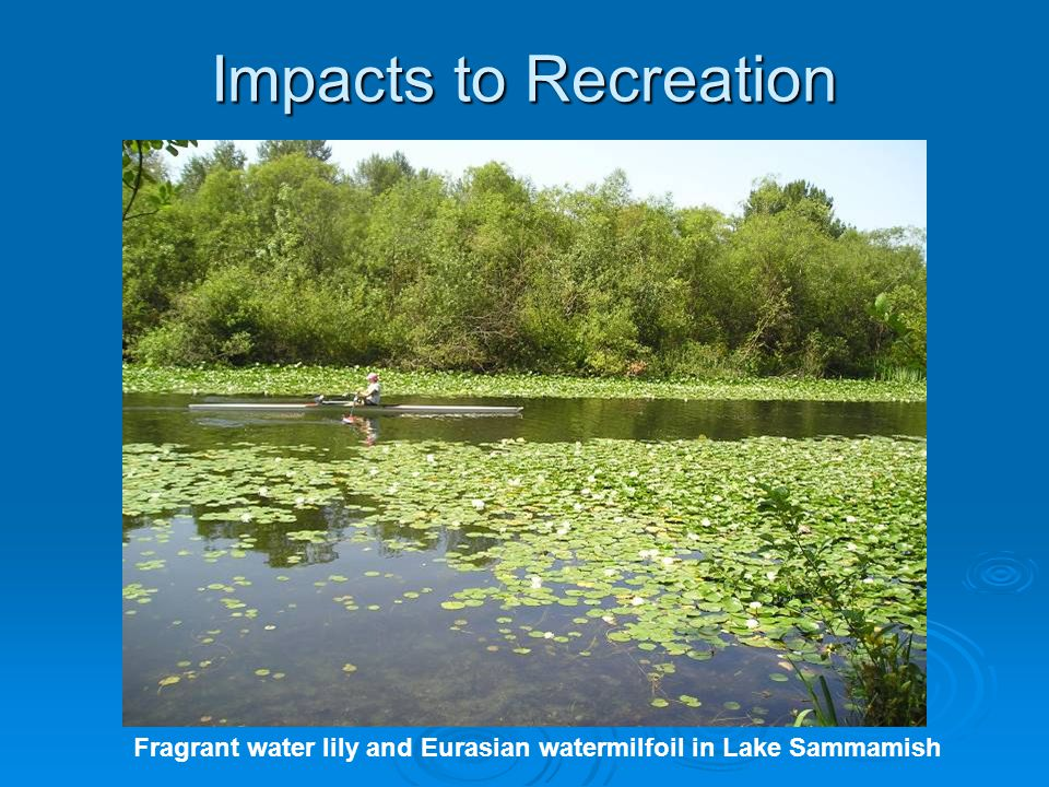 Impacts to Recreation Fragrant water lily and Eurasian watermilfoil in Lake Sammamish