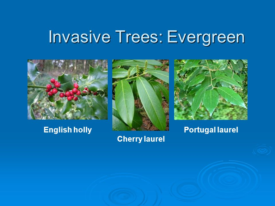 Invasive Trees: Evergreen English holly Cherry laurel Portugal laurel