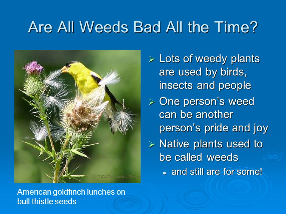 Are All Weeds Bad All the Time.