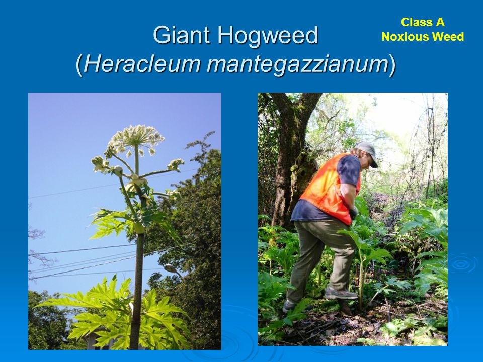 Giant Hogweed (Heracleum mantegazzianum) Class A Noxious Weed