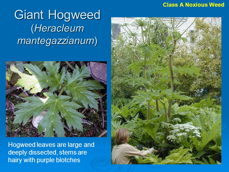 Hogweed leaves are large and deeply dissected, stems are hairy with purple blotches Giant Hogweed (Heracleum mantegazzianum) Class A Noxious Weed