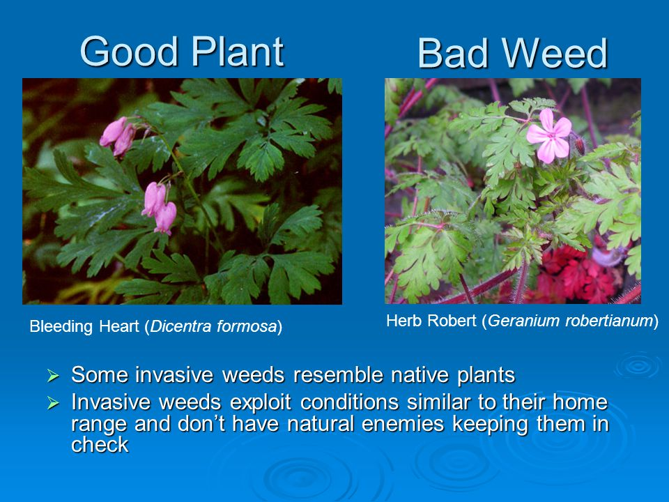 Good Plant Bad Weed Bleeding Heart (Dicentra formosa) Herb Robert (Geranium robertianum)  Some invasive weeds resemble native plants  Invasive weeds exploit conditions similar to their home range and don't have natural enemies keeping them in check