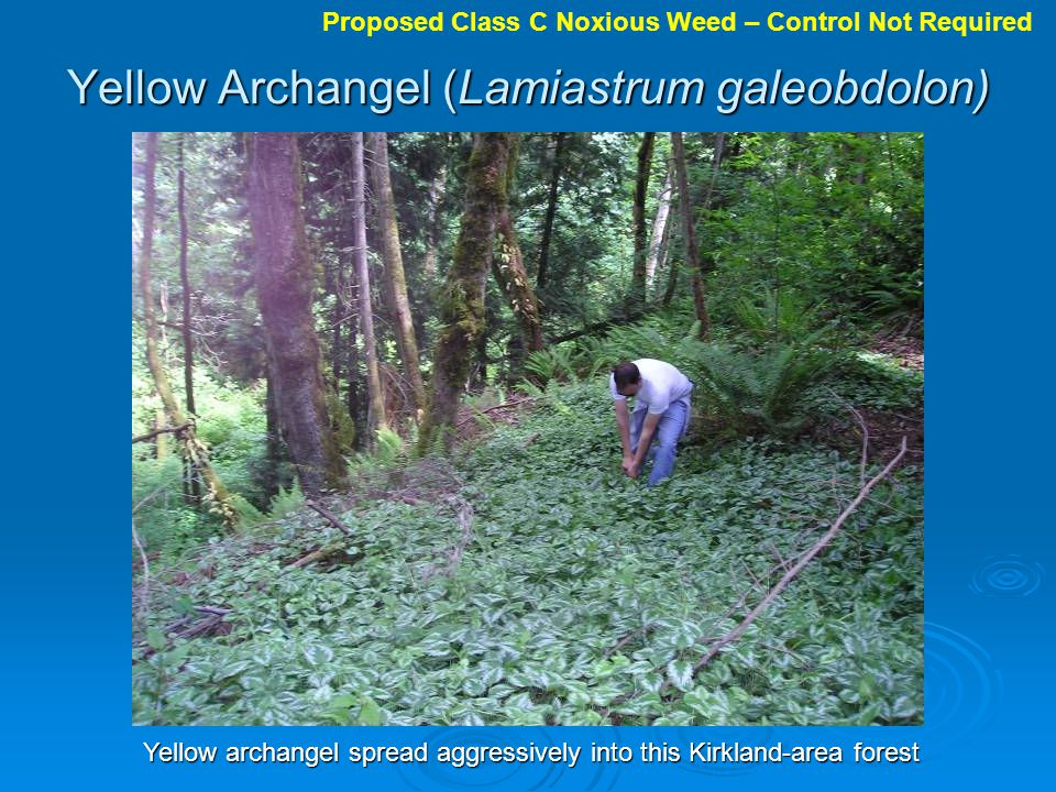 Yellow Archangel (Lamiastrum galeobdolon) Yellow archangel spread aggressively into this Kirkland-area forest Proposed Class C Noxious Weed – Control Not Required